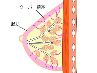 胸を大きくすることと下垂に関係するクーパー靭帯